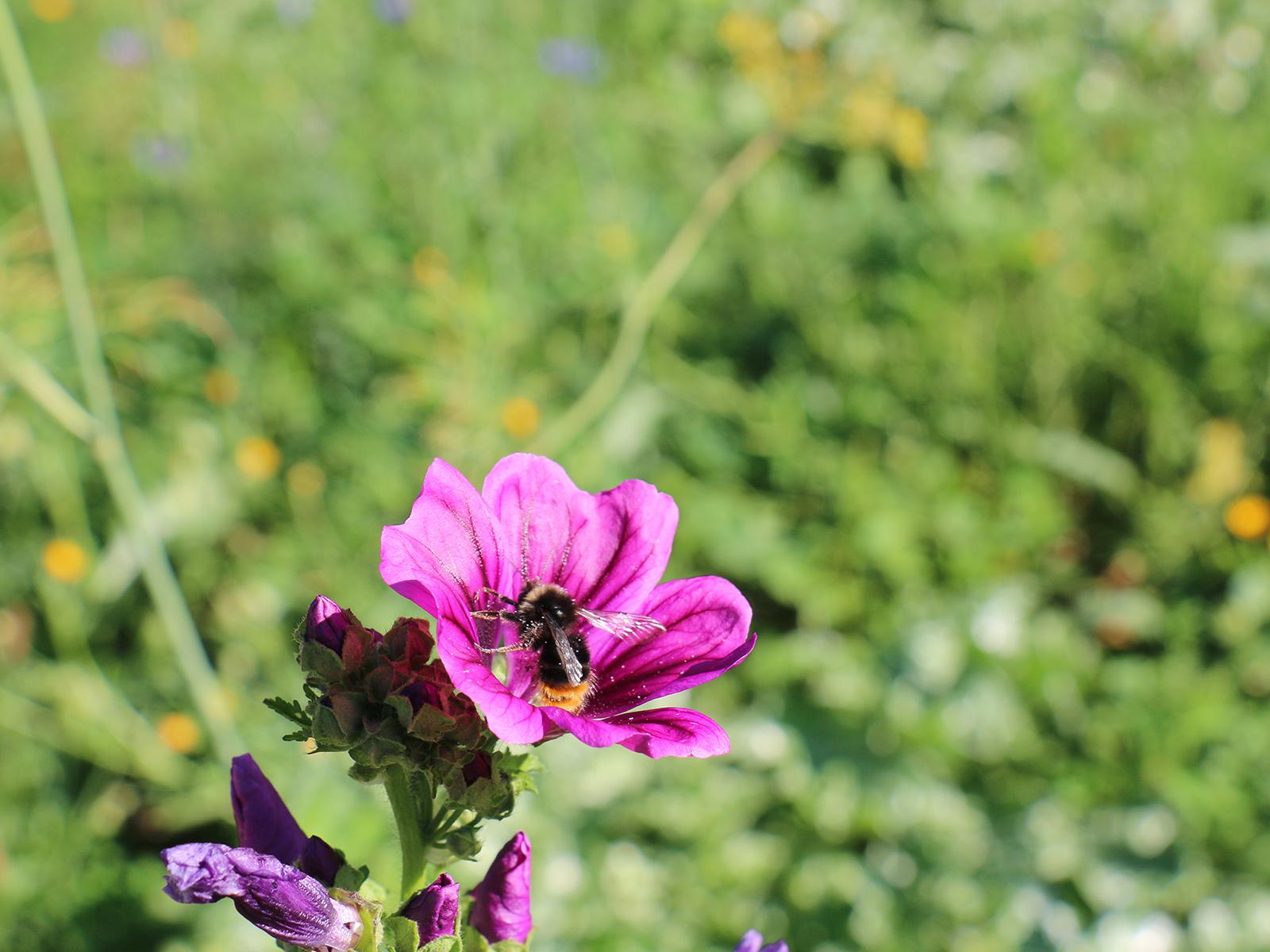 Eine Hummel auf einer violetten Blume aug einer Blühwiese.