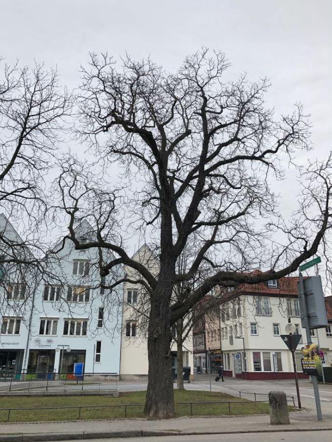Eine rund 16 Meter hohe Rosskastanie an der Alleenstraße