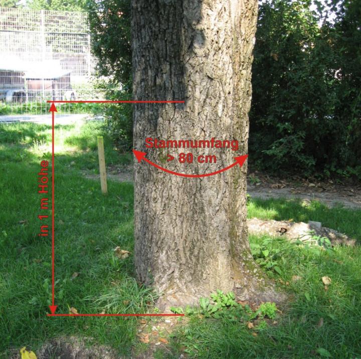 Foto eines Baumes der unter den Baumschutz fällt mit Einzeichnung des Umfanges und der Höhe
