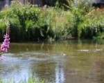 Der Fluss Lauter umgeben von grüner und violetten Pflanzen.