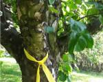 Ein gelbes Band hängt an einem Obstbaum, der damit zur Ernte freigegeben ist.