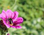 Hummel auf einer lila Blume