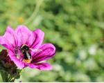 Hummel auf lila Blume