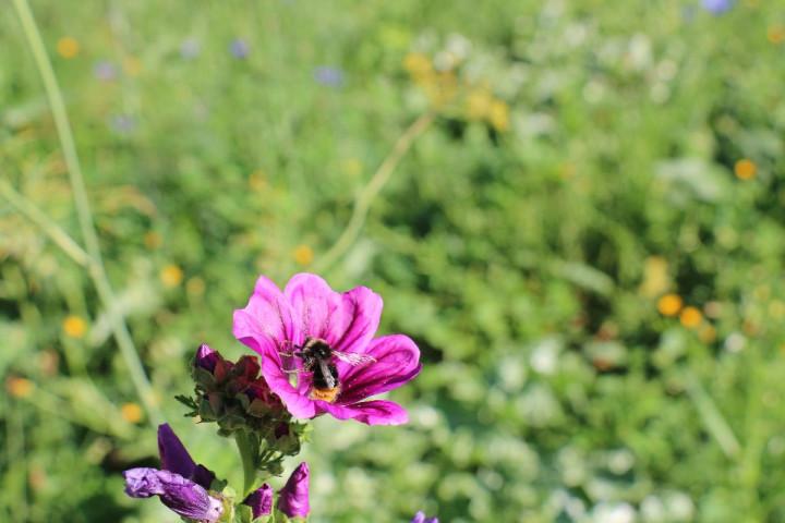 """Eine Hummel auf einer Blume auf der Blühwiese an der Notzinger Steige, angelegt für das Projekt """"Kirchheim unter Teck - natürlich naturnah""""."""