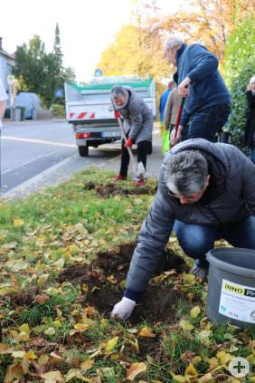 Eine Ehrenamtliche Helferin pflanzt Narzissen-Zwiebeln in der Eichendorffstraße ein.